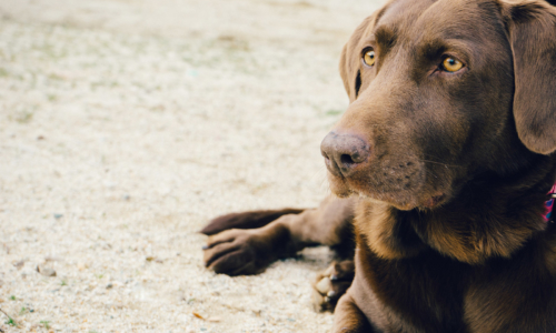 animal-dog-pet-brown-2