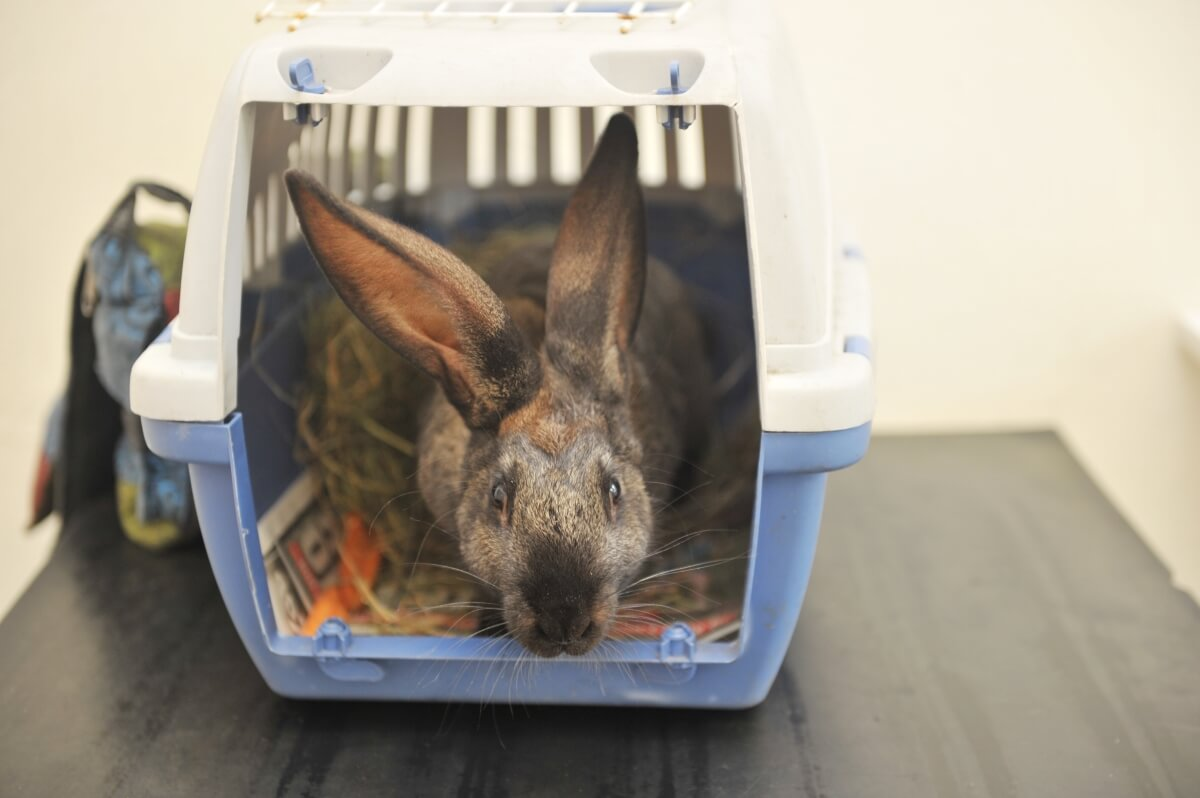 Rabbit vaccines